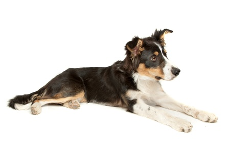 pure bred: border collie sheepdog on a white background