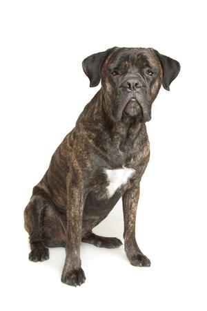 cane corso: Cane Corso cane di fronte a uno sfondo bianco