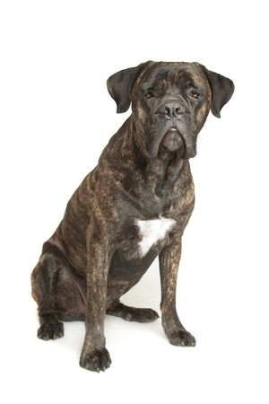 bred: Cane Corso dog in front of a white background