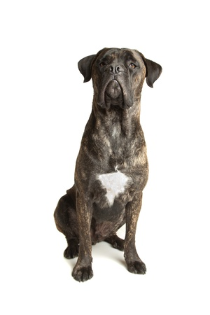 mastiff: Cane Corso dog in front of a white background