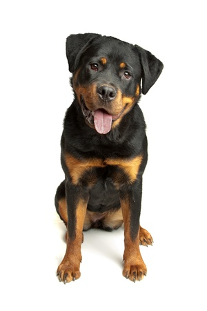 rottweiler: Rottweiler in front of a white background