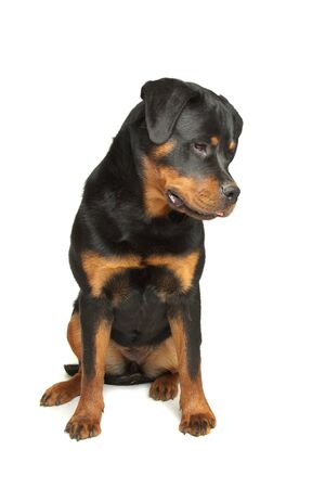 k 9: Rottweiler in front of a white background