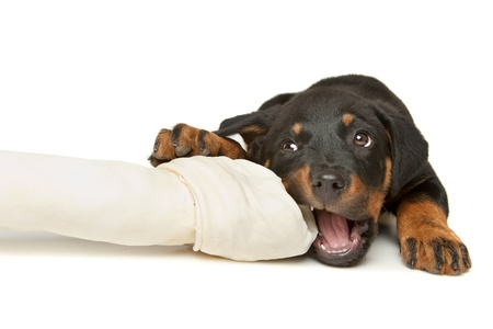 Rottweiler puppy with a huge white bone in front of a white background