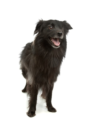 pyrenean: black Pyrenean Shepherd in front of a white background Stock Photo