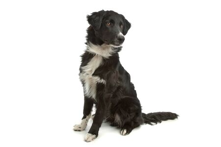pure bred: border collie sheepdog in front of a white background