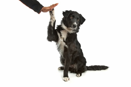border collie sheepdog in front of a white background Stock Photo - 10271975