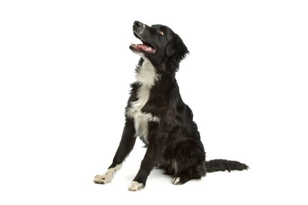 k 9: border collie sheepdog in front of a white background
