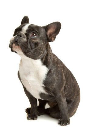 k 9: French Bulldog in front of a white background