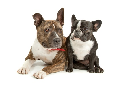 k 9: American Staffordshire Terrier and a French bulldog in front of a white background