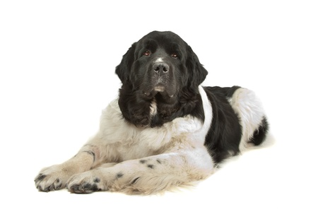 Landseer dog in front of a white background
