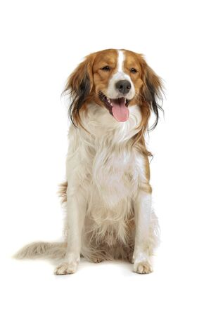 decoy: Kooiker Hound in front of a white background Stock Photo
