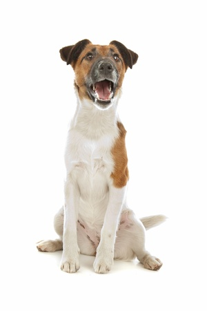 terriers: Fox Terrier (Smooth) in front of a white background Stock Photo