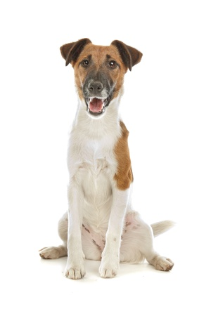 Fox Terrier (Smooth) in front of a white background Imagens