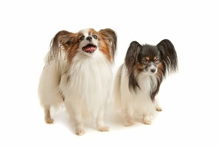 k 9: two Papillon dogs in front of a white background