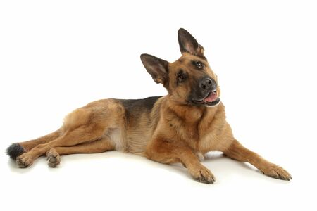 k 9: German Shepherd in front of a white background