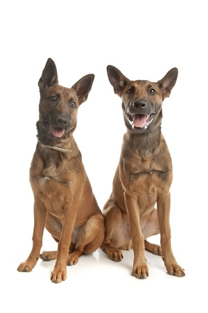 k 9: two Belgian Shepherd Dog (Malinois)puppies in front of a white background