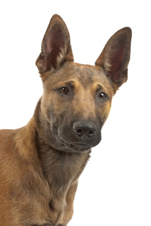 Belgian Shepherd Dog (Malinois)puppy in front of a white background photo