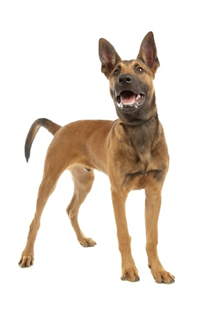 pure bred: Belgian Shepherd Dog (Malinois)puppy in front of a white background