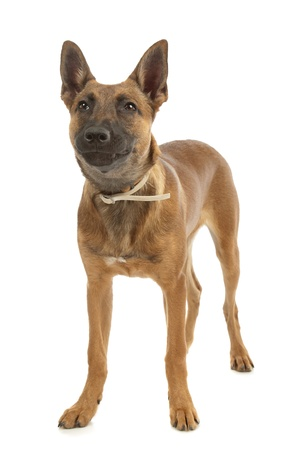 k 9: Belgian Shepherd Dog (Malinois)puppy in front of a white background