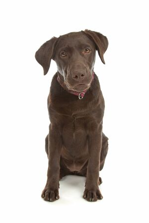 k 9: Chocolate Labrador Retriever in front of a white background Stock Photo