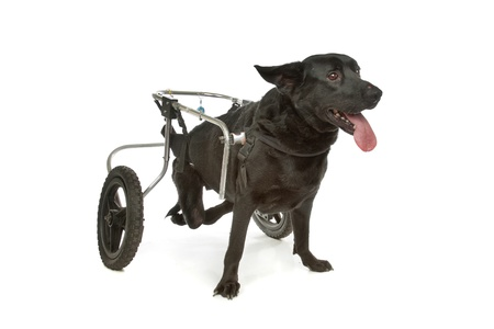 handicapped: dog in a wheelchair in front of a white background