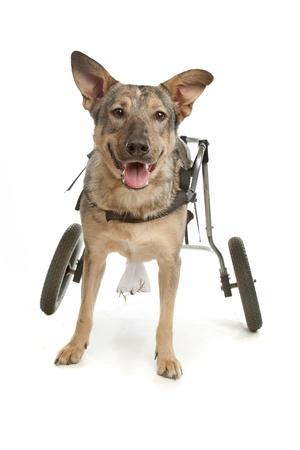 silla de ruedas: perro en una silla de ruedas en frente de un fondo blanco