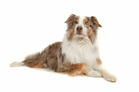 pure bred: Australian Shepherd in front of a white background