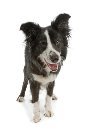 pure bred: black and white border collie sheepdog on a white background Stock Photo