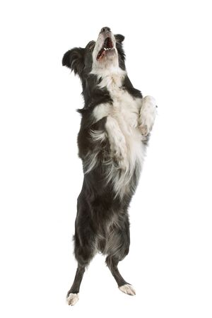 black and white border collie sheepdog on a white background Imagens