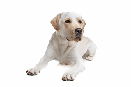 k 9: Yellow Labrador in front of a white background