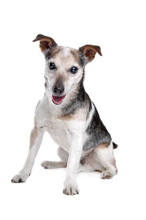 k 9: old and blind jack russel terrier in front of a white background Stock Photo