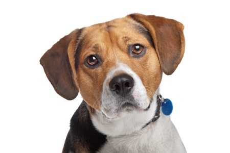 pure bred: Beagle in front of a white background