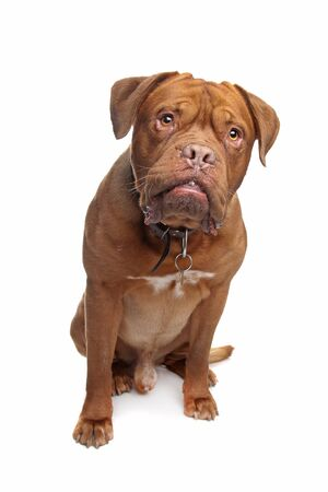 dogue de bordeaux: French mastiff in front of a white background