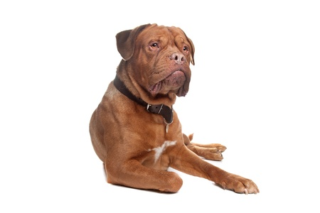 bordeauxdog: French mastiff in front of a white background