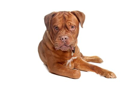 French mastiff in front of a white background Stock Photo - 10299131