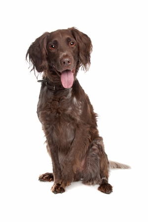 pointer dog: Small Munsterlander in front of a white background