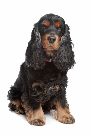 english cocker spaniel: black and tan English cocker spaniel in front of a white background