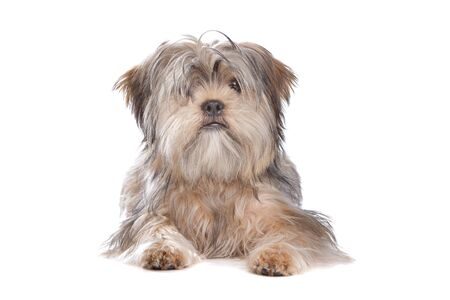 pure bred: Shih Tzu dog in front of a white background