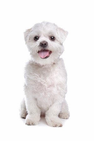 maltese dog: mixed breed dog in front of a white background