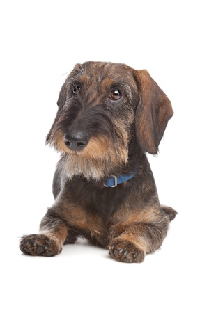 k 9: Wire-haired dachshund in front of a white background