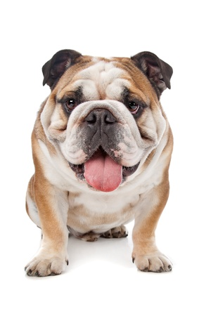 bull dog: English bulldog in front of a white background