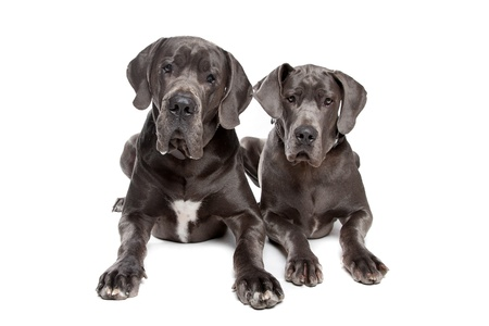 Two grey great Dane dogs on front of a white background Imagens - 10468273