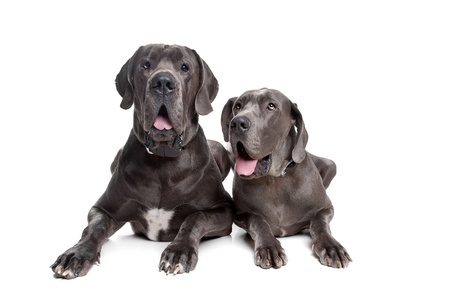 Two grey great Dane dogs on front of a white background photo