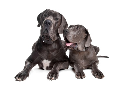 mastiff: Two grey great Dane dogs on front of a white background