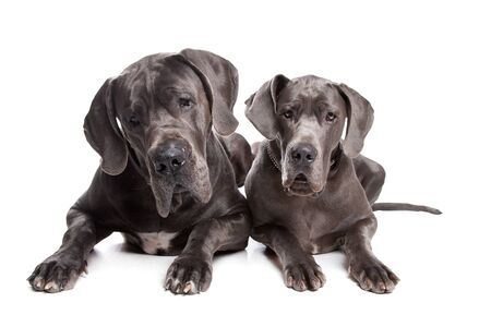 Two grey great Dane dogs on front of a white background Stock Photo - 10468275