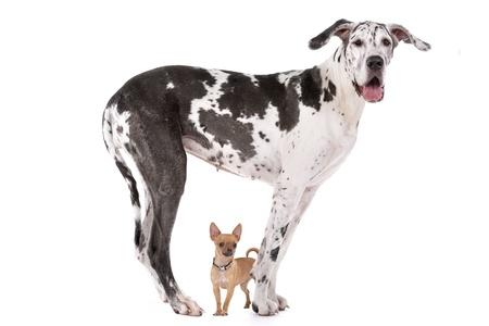 obediencia: Gran danés arlequín y un chihuahua delante de un fondo blanco