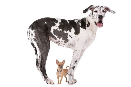 big and small: Great Dane HARLEQUIN and a chihuahua in front of a white background