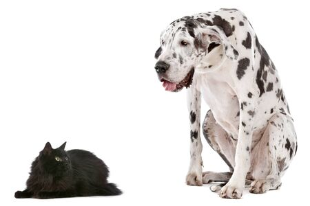 great dane harlequin: A dog and a cat in front of a white background
