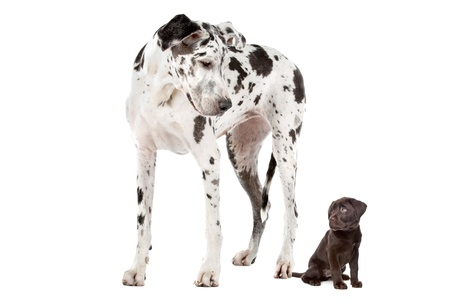big and small: A Great Dane harlequin and a chocolate Labrador puppy in front of a white background