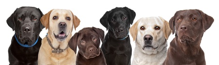 six portraits of Labrador dogs in a row isolated on a white background